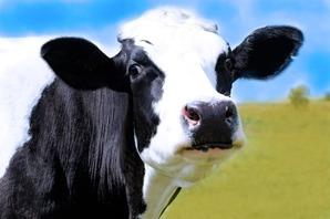 Cum influenteaza o mulgatoare vaci productivitatea de lapte